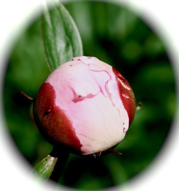 en liten rosenknopp, beredd färdig att slå ut, besök något nytt!